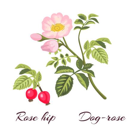Dog-rose Zweig mit Blättern und Blüten. Wilde Rose. Rosa canina. Hagebutten auch als Rose haw oder Rosen hep.Vector Illustration bekannt. Vektorgrafik
