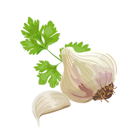 garlic clove: Whole garlic, one clove and parsley leaf isolated on white. Vector illustration.