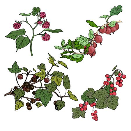 red currant: Set of berries. red currant, black currunt, raspberry, gooseberry. Hand drawn vector illustration Illustration