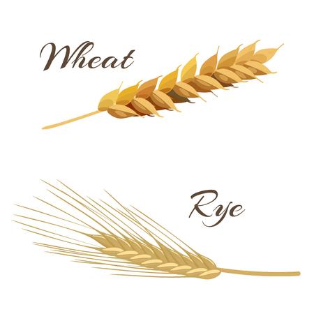rye: Wheat and rye ears. Vector illustration EPS 10 Illustration
