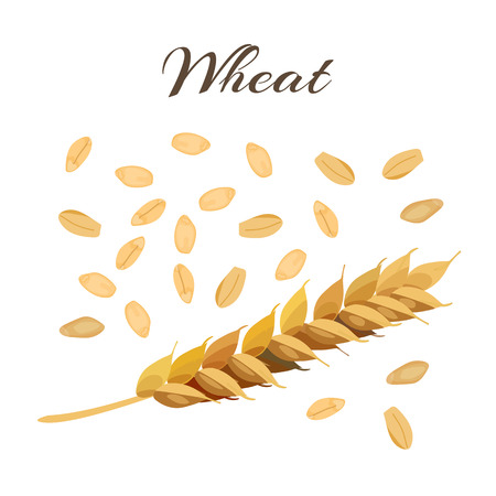 processed grains: Wheat ear and grains. Vector illustration Illustration