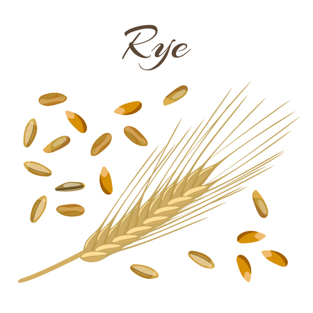 processed grains: Rye ear and grains. Vector illustration