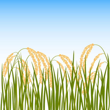 Field of rice. Yellow ears of rice and blue sky on the background. Vector illustration.