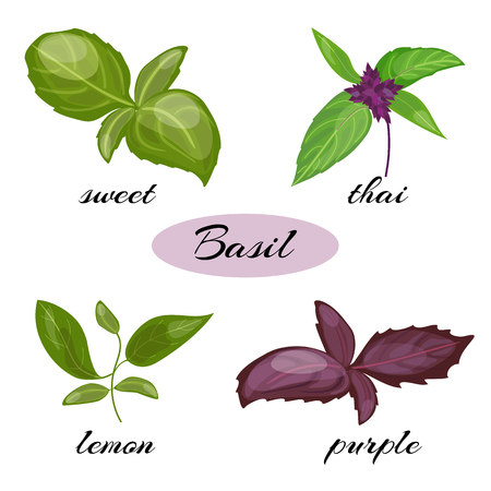 Set of basil leaves. Different types of basil: Genovese, Thai, lemon or holy , purple. Isolated on white background. Herbs with leaves inflorescence.
