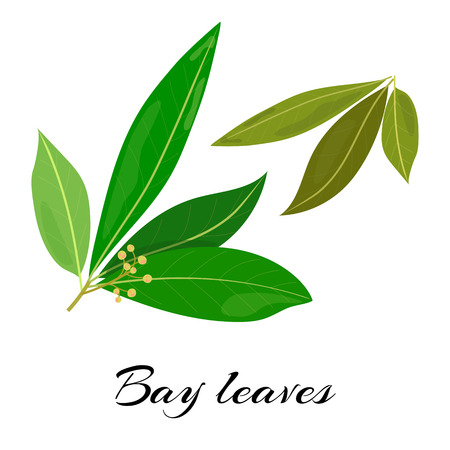 Raw and dried bay leaves. Latin - Laurus nobilis. True laurel branch. Colored vector illustration Çizim