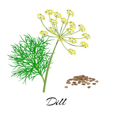 Twig of fresh dill with seeds. Blooming herb with inflorescence. Vector illustration.