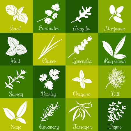 Herbs hand drawn vector squared icon big set. Popular culinary herbs. Basil, coriander, arugula, marjoram, mint, bay leaves, savory, rosemary, sage tarragon thyme parsley oregano dill lavender chives