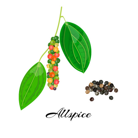 black branch: Blossoming Allspice with seeds. String of Green, red, yellow and black peppercorns on a Branch. Unripe and ripe. Black pepper. Vector illustration. Also Jamaica pepper