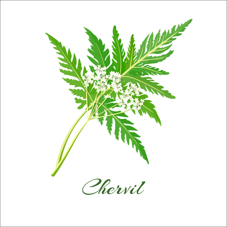 herbes: Blossoming chervil color vector illustration. Anthriscus cerefolium or French parsley. Isolated on a white background. French cuisine. For web, menu, logo.
