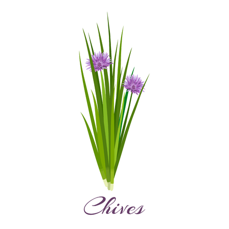 Blossoming chives color vector illustration. Allium schoenoprasum or garlic chives. Isolated on a white background. French cuisine. For web, menu, textile