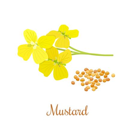 겨자 꽃과 씨앗. 부엌 손으로 그린 허브와 향신료. 건강과 자연 컬렉션입니다. 에센셜 오일 및 자연 보충제 용 라벨. 일러스트