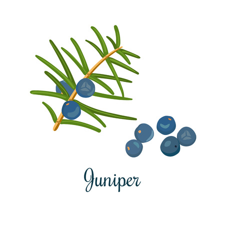 everlasting: Branch of Juniper with berries. Vector color engraving illustration for label, poster, spa, food design, cosmetics, natural health care products. Can be used as price tag, label. Isolated