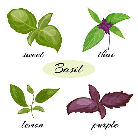 hoary: Set of basil leaves. Different types of basil Genovese, Thai, lemon or holy , purple. Isolated on white background. Herbs with leaves inflorescence.