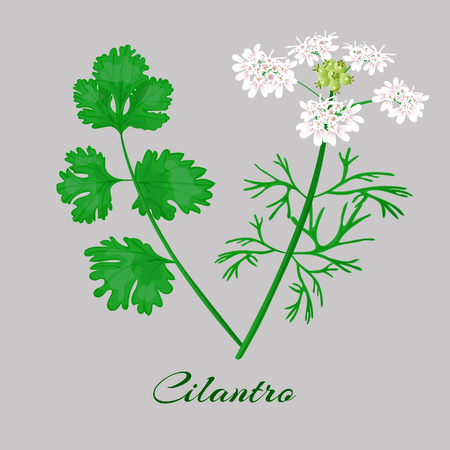 Coriander or Cilantro. flowerm blossom, leaves. Whole plant Vector