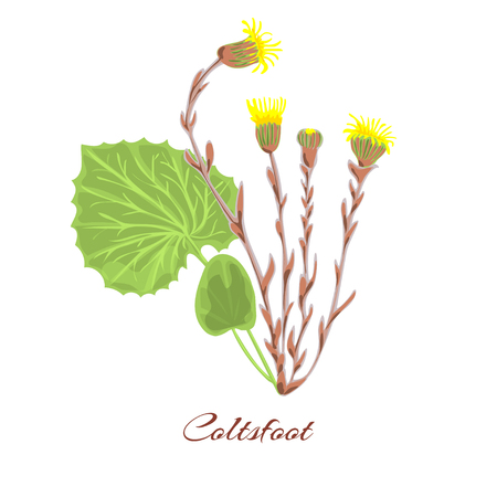 Coltsfoot flower. leaves, yellow blossom. vector mother-and-stepmother