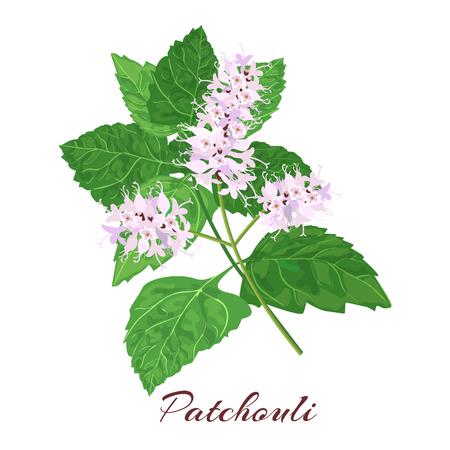 Patchouli는 Pogostemon cablini로 알려져 있습니다. 흰색 배경에 벡터 일러스트 레이 션.