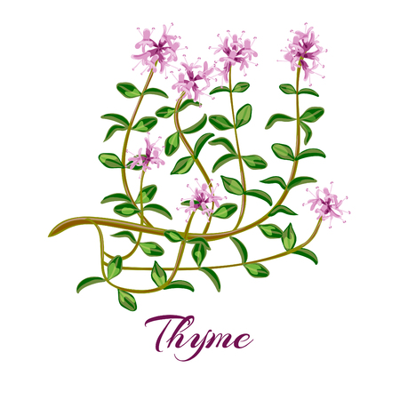 Flowering thyme. Thyme herbs Thymus vulgaris. Vector illustration