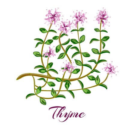 Flowering thyme. Thyme herbs Thymus vulgaris. Vector illustration Illustration