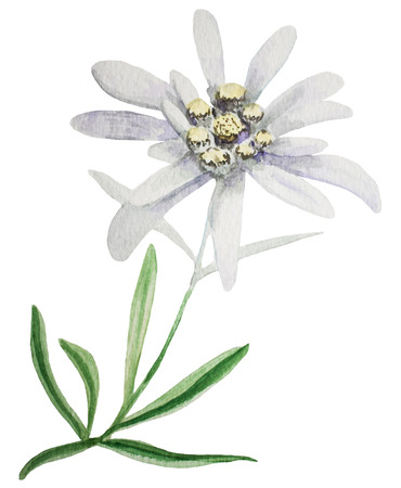 Edelweiss flower. Handmade watercolor painting illustration on a white background.