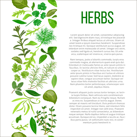 marjoram: Popular culinary herbs set in column with description. Benefits of cooking spices in informative poster with text. Design for cosmetics, store, market, health care products, flyer, price tag, banner