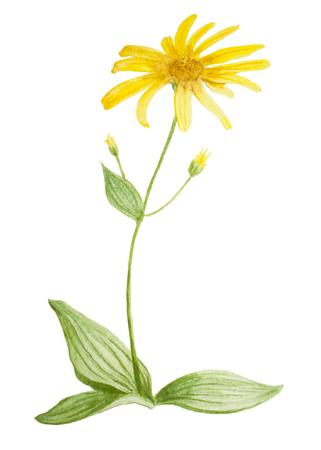 아르니카 꽃입니다. 흰색 배경에 손수 만든 수채화 그림 그림입니다. 엽서, 장식. 스톡 콘텐츠