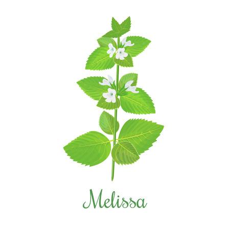 frische Melisse Pflanze. Auch Zitronenmelisse oder Melisse