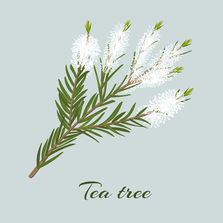 Tea tree or Melaleuca alternifolia blossoming twig Çizim