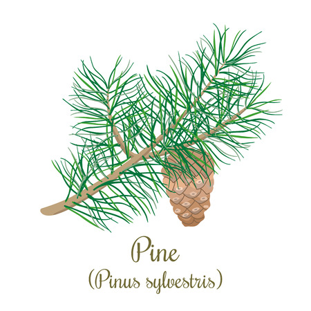 Pine tree twig with a cone. Green Branch of Pinus sylvestris