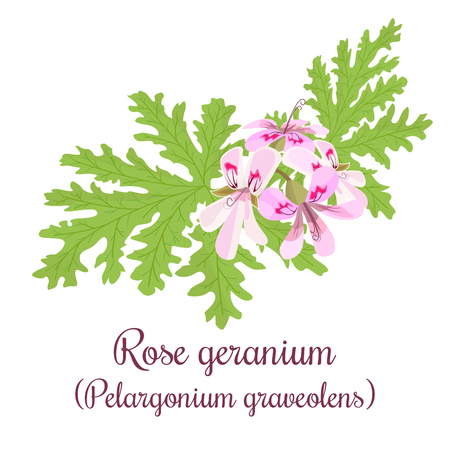 Rose Geranium or Pelargonium Graveolens. leaves and Flowers Illustration