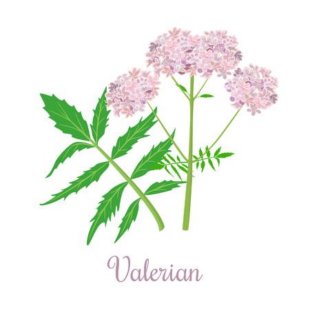 Valerian herb or Caprifoliaceae plant and flowers Illustration