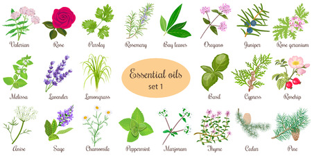Big vector set of popular essential oil plants. Rose, Geranium, lavender, mint, melissa, Chamomile, cedar, pine, juniper, rosehip etc. For cosmetics store spa health care aromatherapy homeopathy Çizim