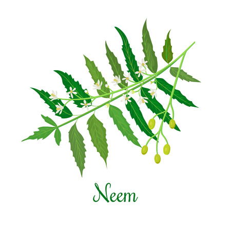 Neem or nimtree. medicinal plant, twig, flowers and berries