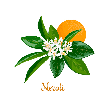 Neroli. bitter orange tree, twig, flowers and fruit Çizim