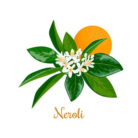 Neroli. bitter orange tree, twig, flowers and fruit Illustration