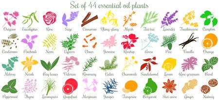 Große Reihe von 44 ätherischen Ölpflanzen. Flat, gefärbt Standard-Bild - 70875015