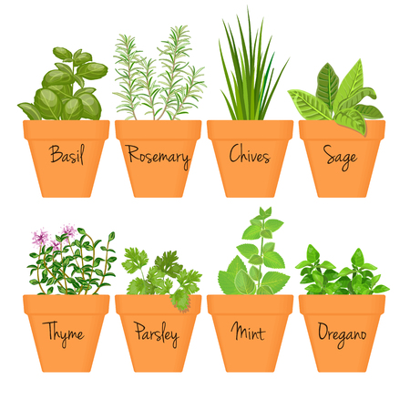 Set of vector culinary herbs in terracotta pots with labels