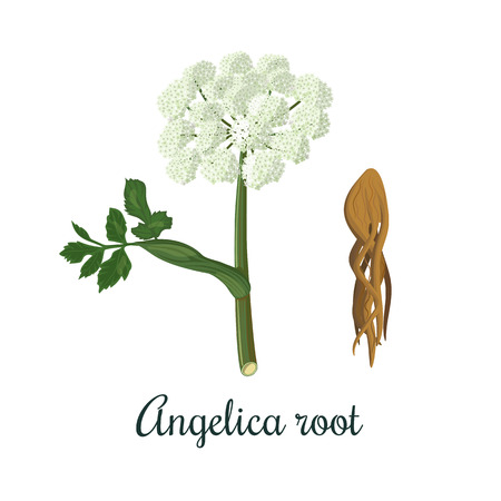 안젤리카 sinensis, archangelica 또는 동 quai, 또는 여성 인삼. 꽃과 뿌리. 요리, 술 일러스트