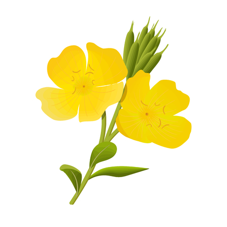 Yellow evening primrose. Sundrop, suncup or oenothera fruticose flower and leaf
