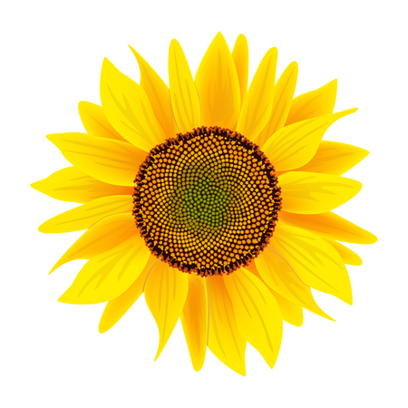 Sunflower flower or Helianthus isolated on white background Illustration