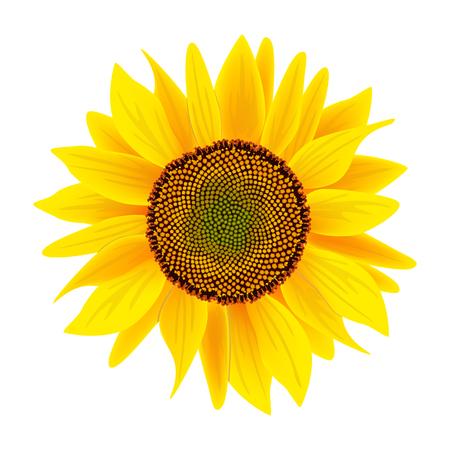 helianthus: Sunflower flower or Helianthus isolated on white background Illustration