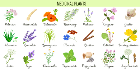 Big vector set of medicinal plants. Valerian, Aloe vera, lavender, peppermint, angelica root, Chamomile, verbena, anise, coltsfoot thyme etc For health care aromatherapy homeopathy