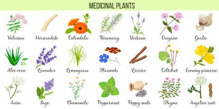 Gran conjunto de vectores de plantas medicinales. Valeriana, Aloe vera, lavanda, hierbabuena, raíz de angélica, manzanilla, verbena, anís, tomillo de coltsfoot, etc. Para la homeopatía de aromaterapia de cuidado de la salud Ilustración de vector