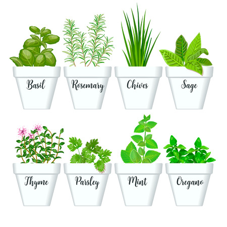 Set of vector culinary herbs in white pots with labels. Green growing basil, sage, rosemary, chives, thyme, parsley, mint, oregano with text above. Gardening. For advertising, poster, banner, web Ilustração