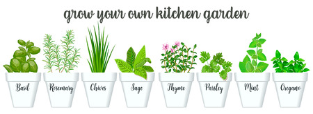 Set of vector culinary herbs in white pots with labels. Green growing basil, sage, rosemary, chives, thyme, parsley, mint, oregano with text above. Gardening. For advertising, poster, banner, web Çizim