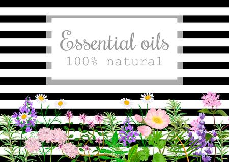 Popular essential oil plants label set on black stripes Peppermint, lavender, sage, melissa, Rose, Geranium, Chamomile, oregano etc For cosmetics spa health care aromatherapy, advertising, tag