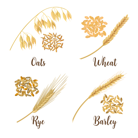 grain fields: Wheat, barley, oat and rye. Cereals 3d icon vector set. Four cereals grains and ears. Harvest time seeds and plants. Can be used for cooking, bakery, tags, labels, textile