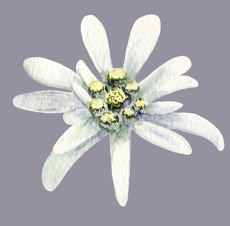 Edelweiss flower. Handmade watercolor painting illustration on white background.