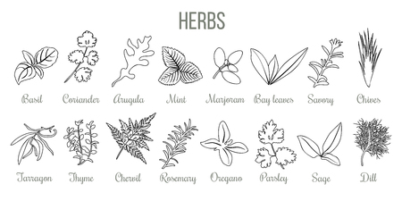 Set of popular culinary herbs. realistic style. icon outline sketch Basil, coriander, mint, rosemary, basil, sage, thyme, parsley silhouette Stock Vector - 101453380