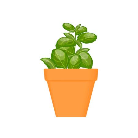 basil vector culinary herb in terracotta pot. Green growing. Gardening. For advertising, poster, banner web Vetores