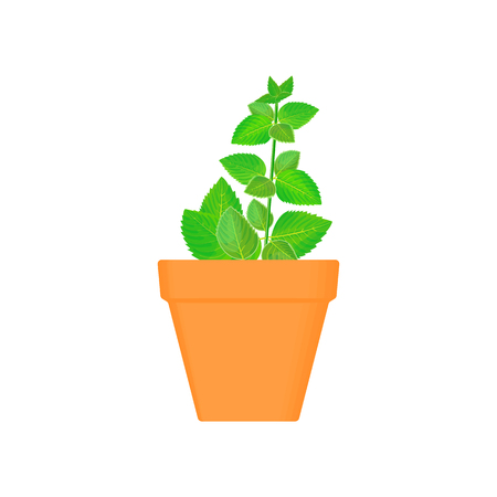 mint vector culinary herb in terracotta pot. Green growing. Gardening. For advertising, poster, banner web